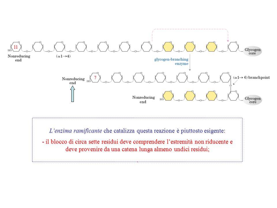 L'enzima ramificante che catalizza questa reazione è piuttosto esigente: - il blocco di circa sette residui deve comprendere l'estremità non riducente