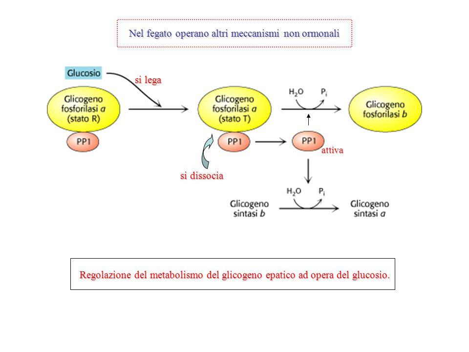 Regolazione del metabolismo del glicogeno epatico ad opera del glucosio. si lega si dissocia Nel fegato operano altri meccanismi non ormonali attiva