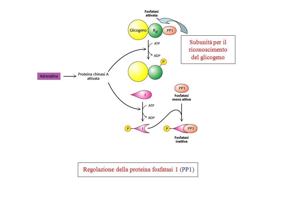 Regolazione della proteina fosfatasi 1 (PP1) Subunità per il riconoscimento del glicogeno