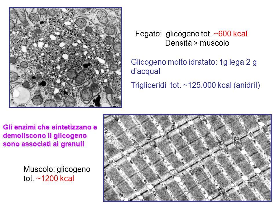 Fegato: glicogeno tot. ~600 kcal Densità > muscolo Muscolo: glicogeno tot. ~1200 kcal Glicogeno molto idratato: 1g lega 2 g d'acqua! Trigliceridi tot.