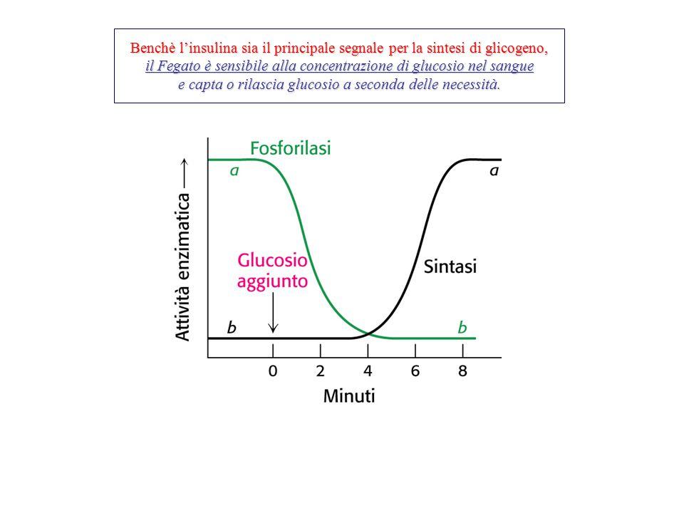 Benchè l'insulina sia il principale segnale per la sintesi di glicogeno, il Fegato è sensibile alla concentrazione di glucosio nel sangue e capta o ri