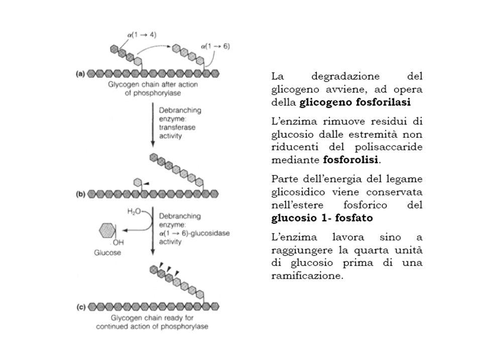 L'enzima ramificante che catalizza questa reazione è piuttosto esigente: - il blocco di circa sette residui deve comprendere l'estremità non riducente e deve provenire da una catena lunga almeno undici residui;.