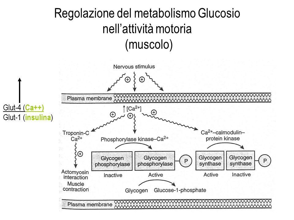 Regolazione del metabolismo Glucosio nell'attività motoria (muscolo) Glut-4 ( Ca++) Glut-1 ( insulina )