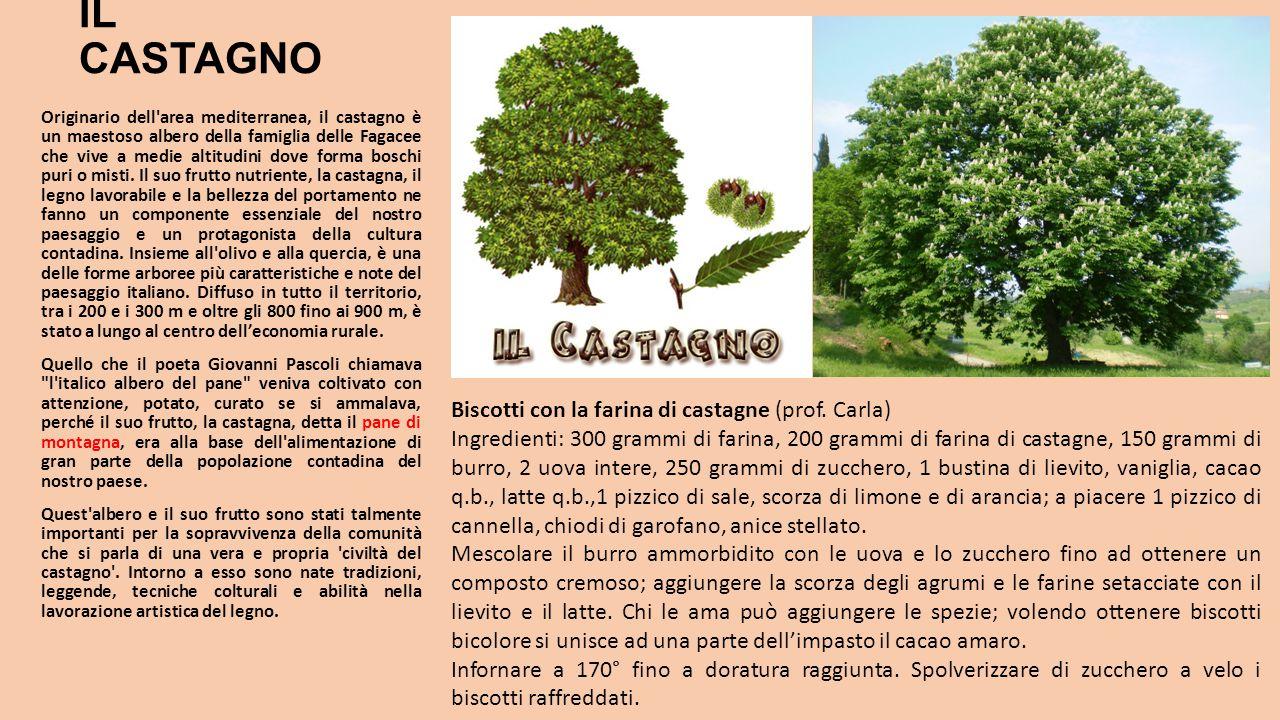 IL CASTAGNO Originario dell'area mediterranea, il castagno è un maestoso albero della famiglia delle Fagacee che vive a medie altitudini dove forma bo
