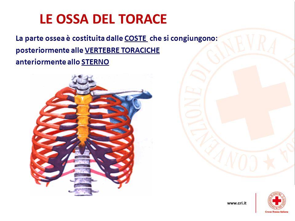 LE OSSA DEL TORACE La parte ossea è costituita dalle COSTE che si congiungono: posteriormente alle VERTEBRE TORACICHE anteriormente allo STERNO