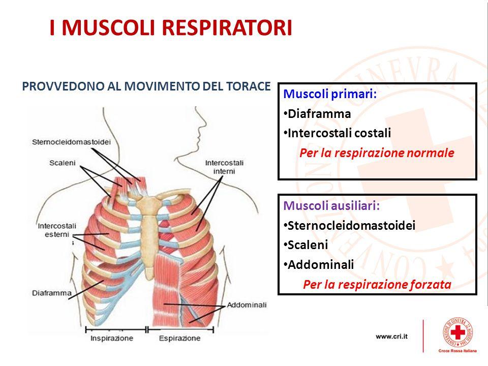I MUSCOLI RESPIRATORI PROVVEDONO AL MOVIMENTO DEL TORACE Muscoli primari: Diaframma Intercostali costali Per la respirazione normale Muscoli ausiliari: Sternocleidomastoidei Scaleni Addominali Per la respirazione forzata