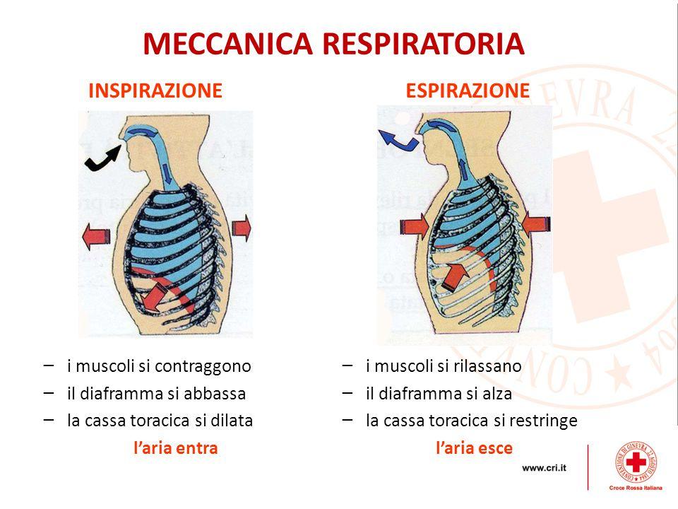 MECCANICA RESPIRATORIA − i muscoli si contraggono − il diaframma si abbassa − la cassa toracica si dilata l'aria entra − i muscoli si rilassano − il diaframma si alza − la cassa toracica si restringe l'aria esce INSPIRAZIONEESPIRAZIONE