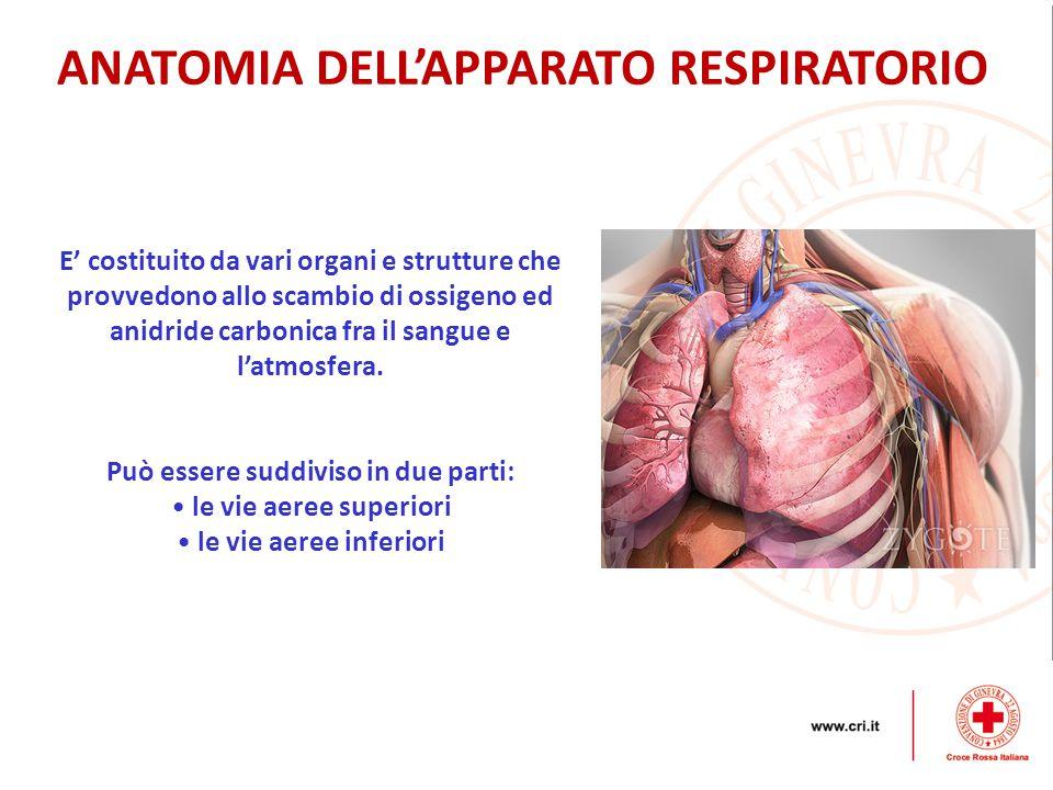 ANATOMIA DELL'APPARATO RESPIRATORIO E' costituito da vari organi e strutture che provvedono allo scambio di ossigeno ed anidride carbonica fra il sangue e l'atmosfera.