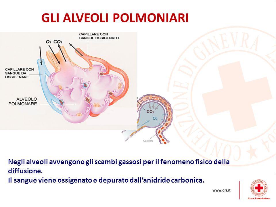 GLI ALVEOLI POLMONIARI Negli alveoli avvengono gli scambi gassosi per il fenomeno fisico della diffusione.