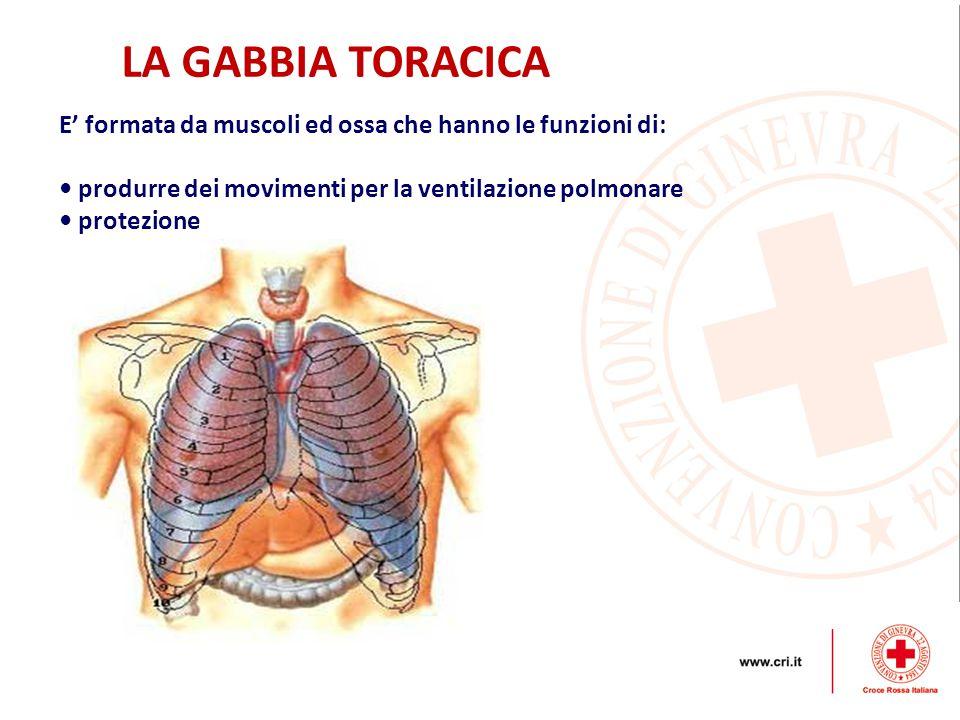 E' formata da muscoli ed ossa che hanno le funzioni di: produrre dei movimenti per la ventilazione polmonare protezione LA GABBIA TORACICA