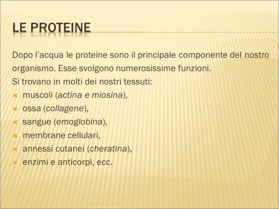 Dopo l'acqua le proteine sono il principale componente del nostro organismo. Esse svolgono numerosissime funzioni. Si trovano in molti dei nostri tess