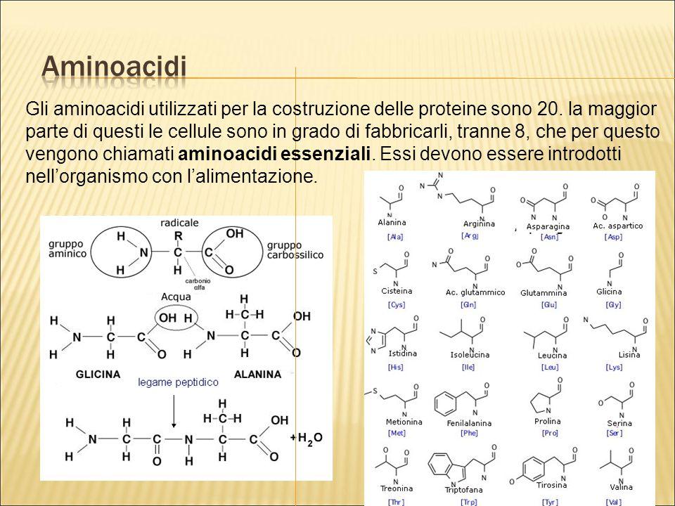 Gli aminoacidi utilizzati per la costruzione delle proteine sono 20. la maggior parte di questi le cellule sono in grado di fabbricarli, tranne 8, che