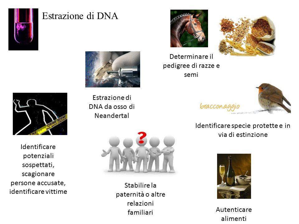 Estrazione di DNA Estrazione di DNA da osso di Neandertal Autenticare alimenti Determinare il pedigree di razze e semi Stabilire la paternità o altre relazioni familiari Identificare potenziali sospettati, scagionare persone accusate, identificare vittime Identificare specie protette e in via di estinzione