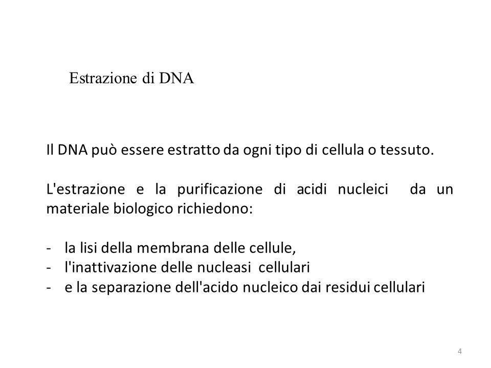 4 Il DNA può essere estratto da ogni tipo di cellula o tessuto.
