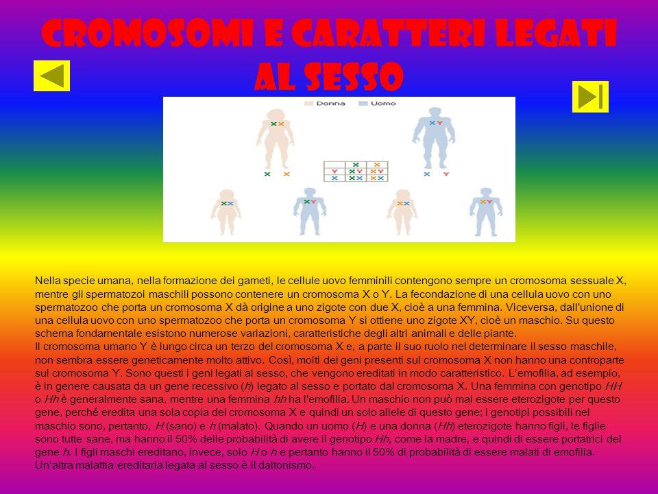 Cromosomi e caratteri legati al sesso Nella specie umana, nella formazione dei gameti, le cellule uovo femminili contengono sempre un cromosoma sessuale X, mentre gli spermatozoi maschili possono contenere un cromosoma X o Y.