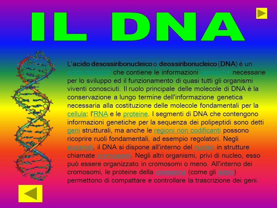 L'acido desossiribonucleico o deossiribonucleico (DNA) è un acido nucleico che contiene le informazioni genetiche necessarie per lo sviluppo ed il fun