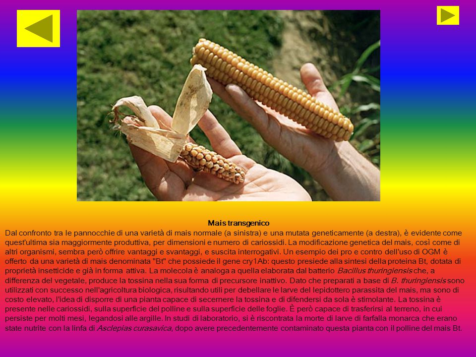 Mais transgenico Dal confronto tra le pannocchie di una varietà di mais normale (a sinistra) e una mutata geneticamente (a destra), è evidente come quest ultima sia maggiormente produttiva, per dimensioni e numero di cariossidi.