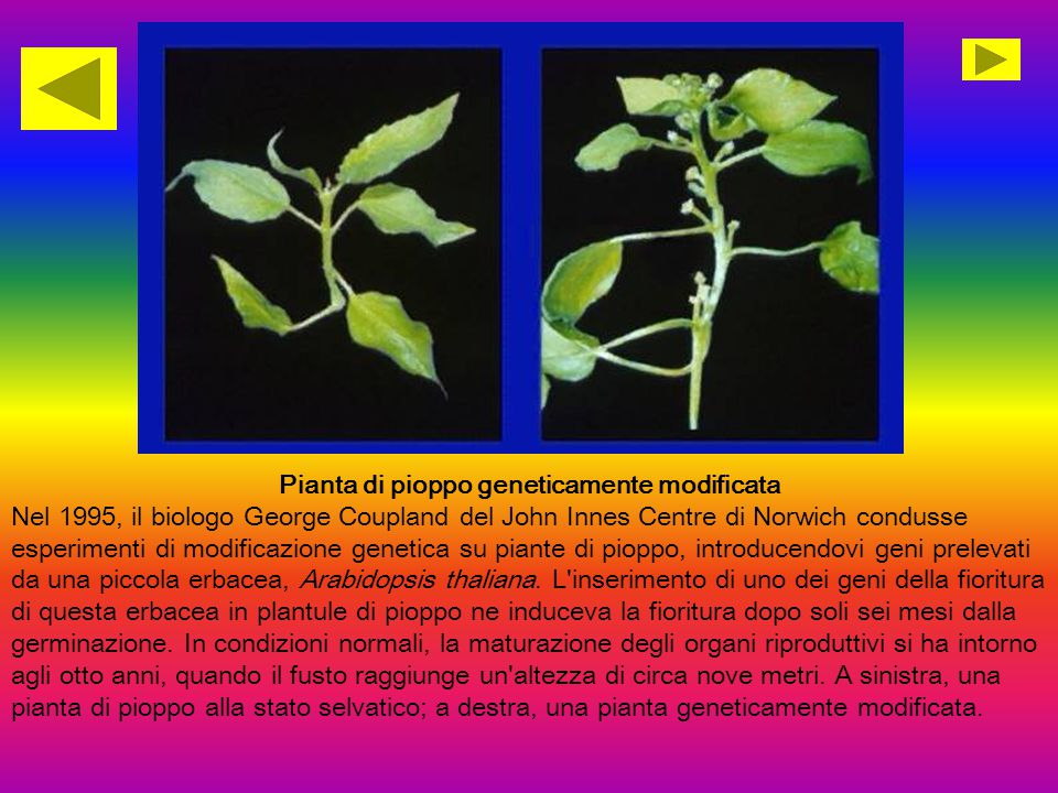 Pianta di pioppo geneticamente modificata Nel 1995, il biologo George Coupland del John Innes Centre di Norwich condusse esperimenti di modificazione genetica su piante di pioppo, introducendovi geni prelevati da una piccola erbacea, Arabidopsis thaliana.