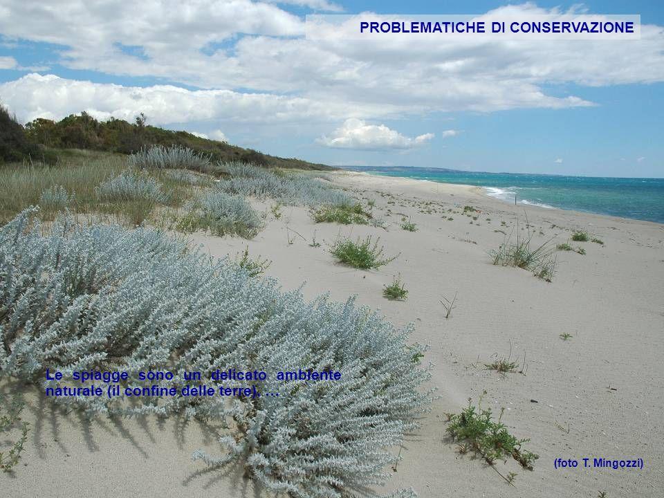 PROBLEMATICHE DI CONSERVAZIONE Le spiagge sono un delicato ambiente naturale (il confine delle terre), … (foto T. Mingozzi)