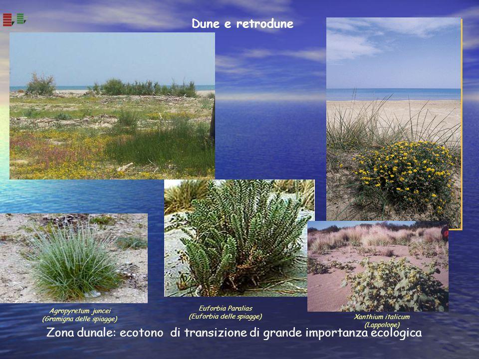 Dune e retrodune Zona dunale: ecotono di transizione di grande importanza ecologica Euforbia Paralias (Euforbia delle spiagge) Agropyretum juncei (Gra