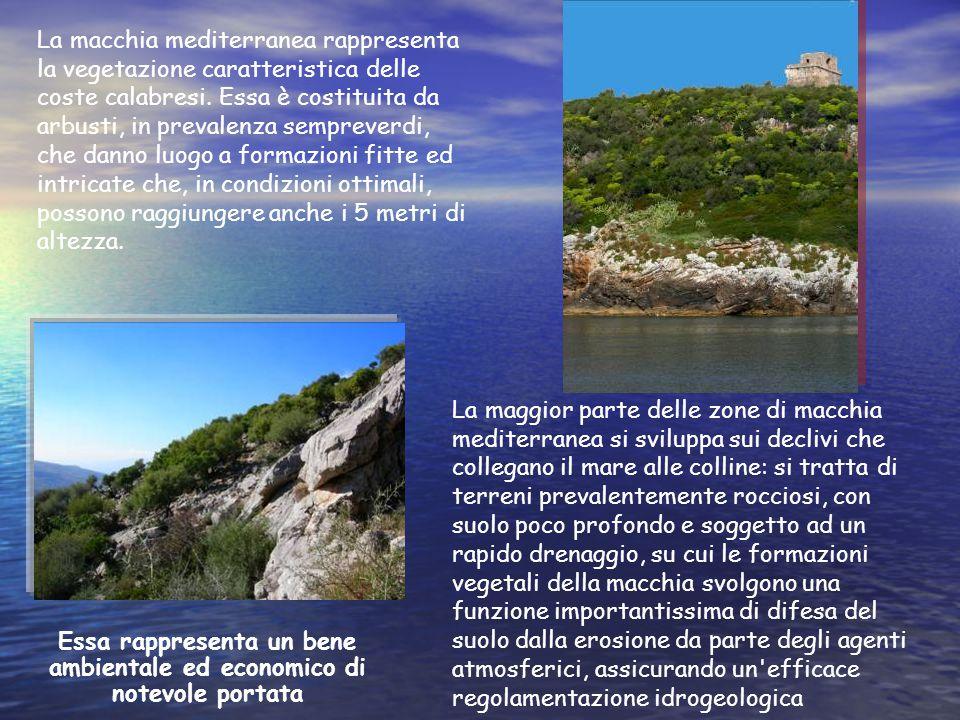 La macchia mediterranea rappresenta la vegetazione caratteristica delle coste calabresi. Essa è costituita da arbusti, in prevalenza sempreverdi, che