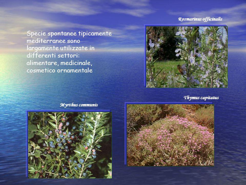Specie spontanee tipicamente mediterranee sono largamente utilizzate in differenti settori: alimentare, medicinale, cosmetico ornamentale Rosmarinus o