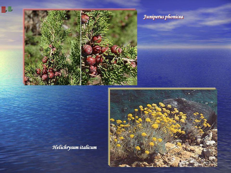Helichrysum italicum Juniperus phonicea