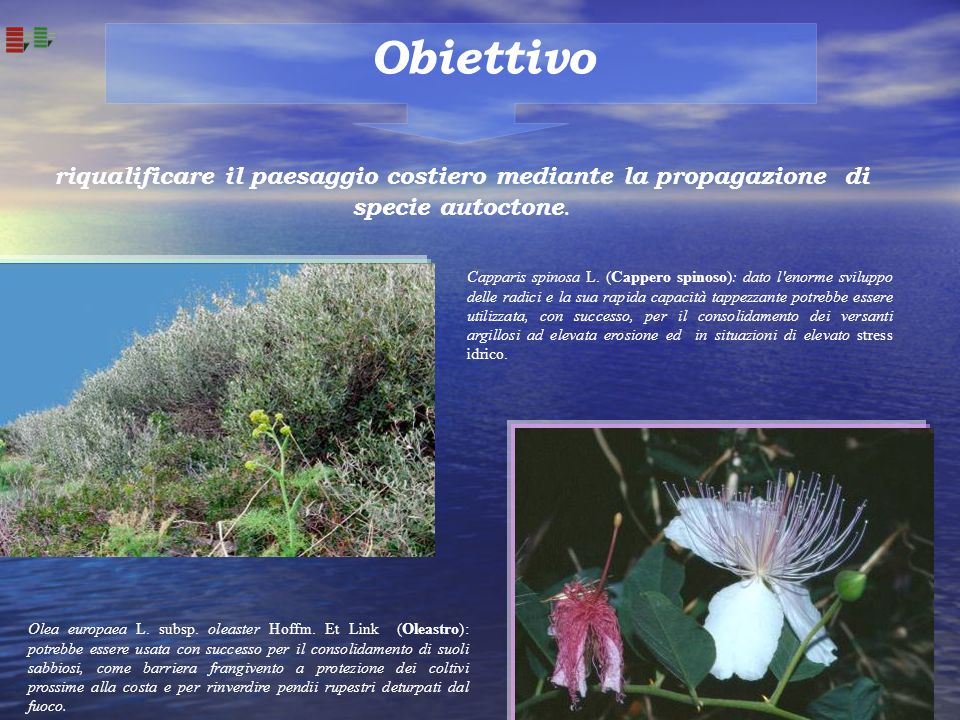 Obiettivo riqualificare il paesaggio costiero mediante la propagazione di specie autoctone. Olea europaea L. subsp. oleaster Hoffm. Et Link (Oleastro)