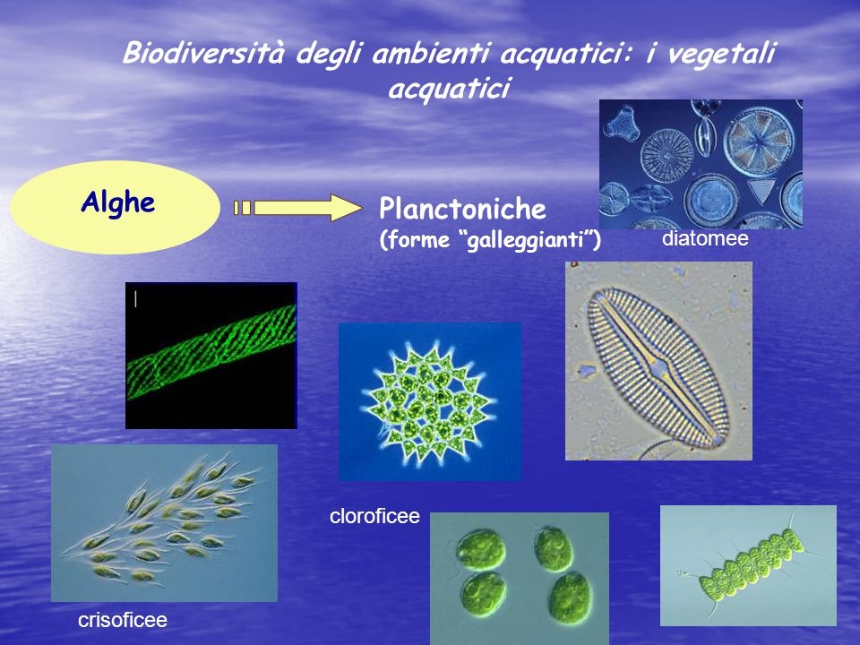 """Alghe Planctoniche (forme """"galleggianti"""") diatomee cloroficee crisoficee Biodiversità degli ambienti acquatici: i vegetali acquatici"""