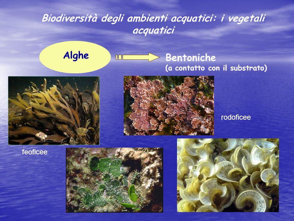 Alghe Bentoniche (a contatto con il substrato) rodoficee feoficee Biodiversità degli ambienti acquatici: i vegetali acquatici