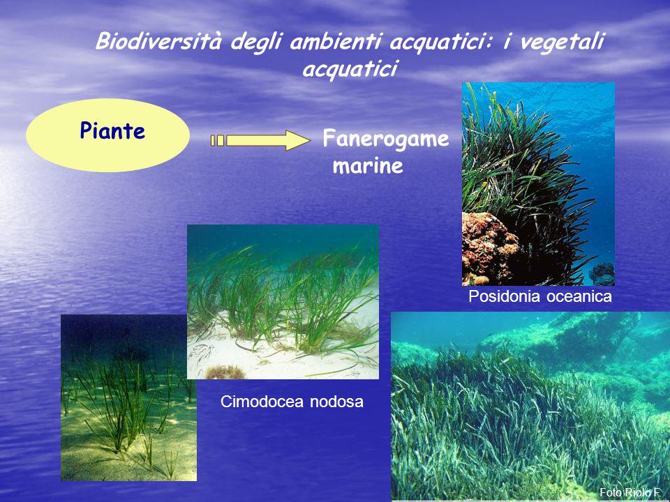 Piante Fanerogame marine Cimodocea nodosa Posidonia oceanica Foto Riolo F. Biodiversità degli ambienti acquatici: i vegetali acquatici