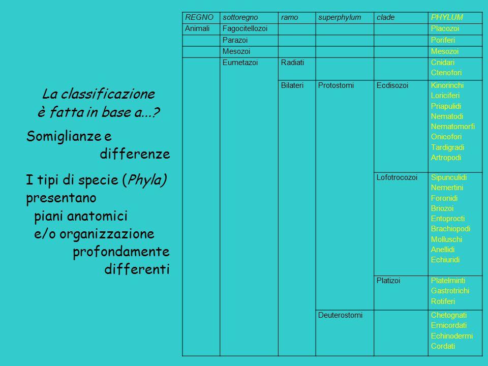 REGNOsottoregnoramosuperphylumcladePHYLUM AnimaliFagocitellozoiPlacozoi ParazoiPoriferi Mesozoi EumetazoiRadiati Cnidari Ctenofori BilateriProtostomiE