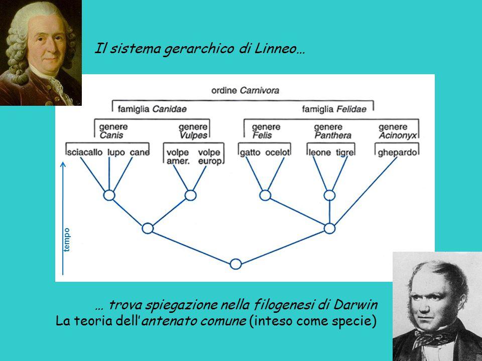 … trova spiegazione nella filogenesi di Darwin La teoria dell'antenato comune (inteso come specie) Il sistema gerarchico di Linneo… tempo