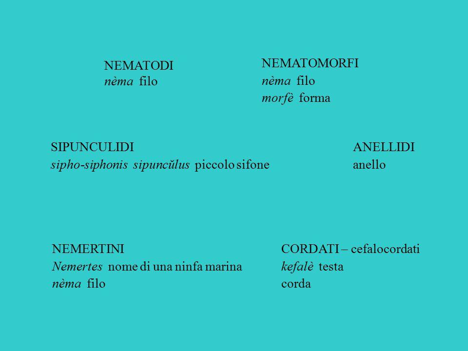 NEMERTINI Nemertes nome di una ninfa marina nèma filo NEMATODI nèma filo ANELLIDI anello NEMATOMORFI nèma filo morfè forma SIPUNCULIDI sipho-siphonis