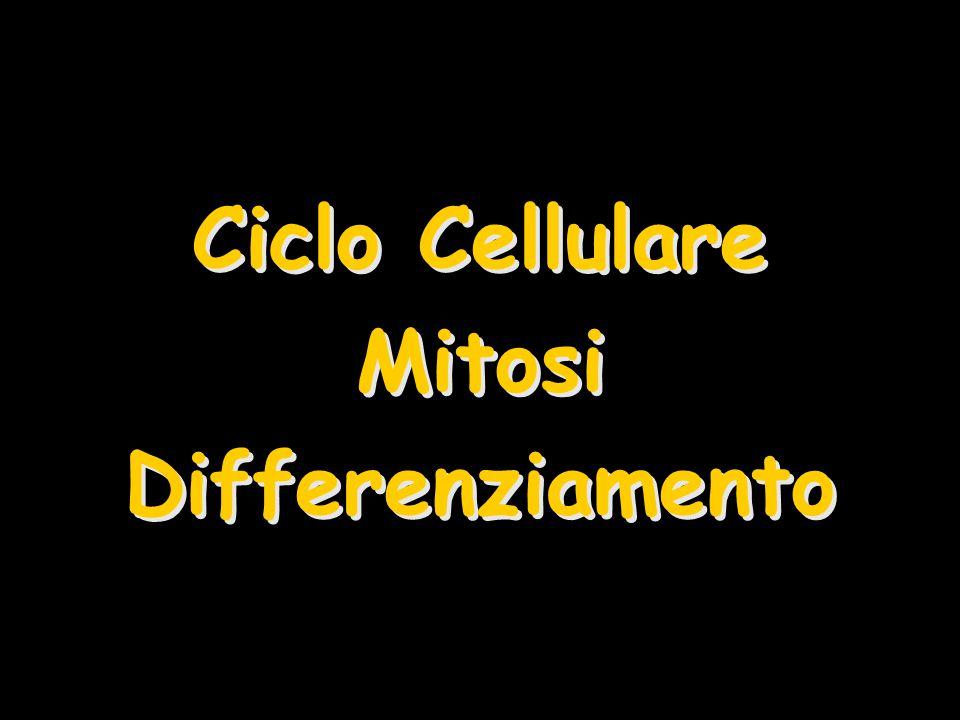 Ciclo Cellulare Mitosi Differenziamento