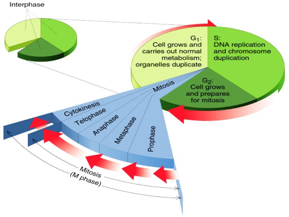 Ciclo Cellulare Ciclo cellulare Eucariotico diviso in 4 fasi successive InterfaseLa Cellula o si sta dividendo oppure è in Interfase 12 ore o più lungo Cellule Differenziate Cellule in Divisione