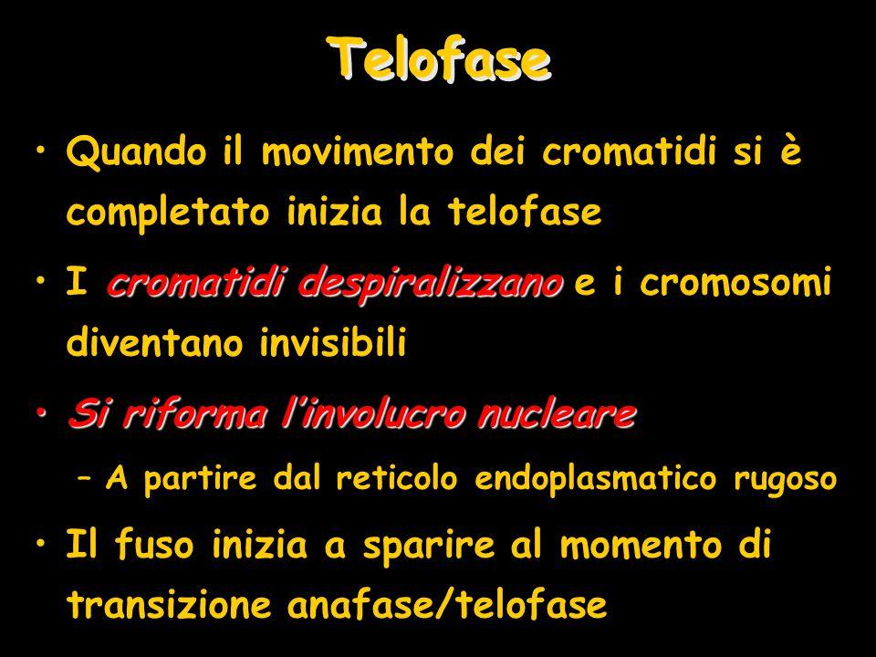 Telofase Quando il movimento dei cromatidi si è completato inizia la telofase cromatidi despiralizzanoI cromatidi despiralizzano e i cromosomi diventa
