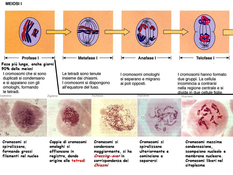Cromosomi si spiralizzano, formando grossi filamenti nel nucleo Coppie di cromosomi omologhi si affiancano in registro, dando origine alle tetradi Cro