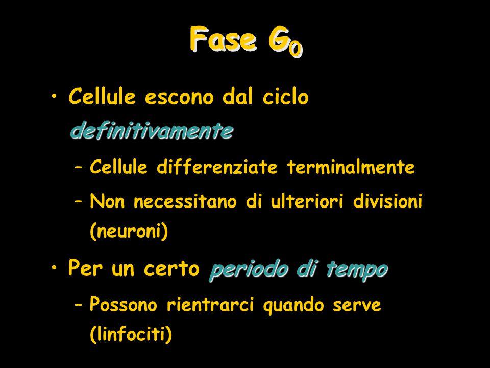 Fase G 0 definitivamenteCellule escono dal ciclo definitivamente –Cellule differenziate terminalmente –Non necessitano di ulteriori divisioni (neuroni