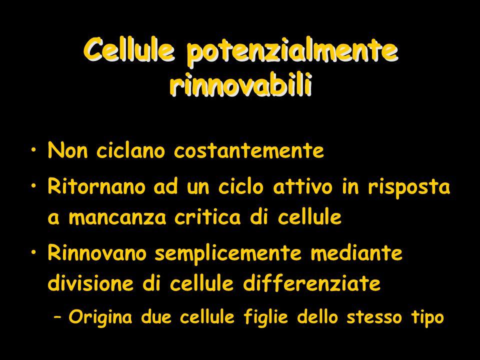 Cellule potenzialmente rinnovabili Non ciclano costantemente Ritornano ad un ciclo attivo in risposta a mancanza critica di cellule Rinnovano semplice