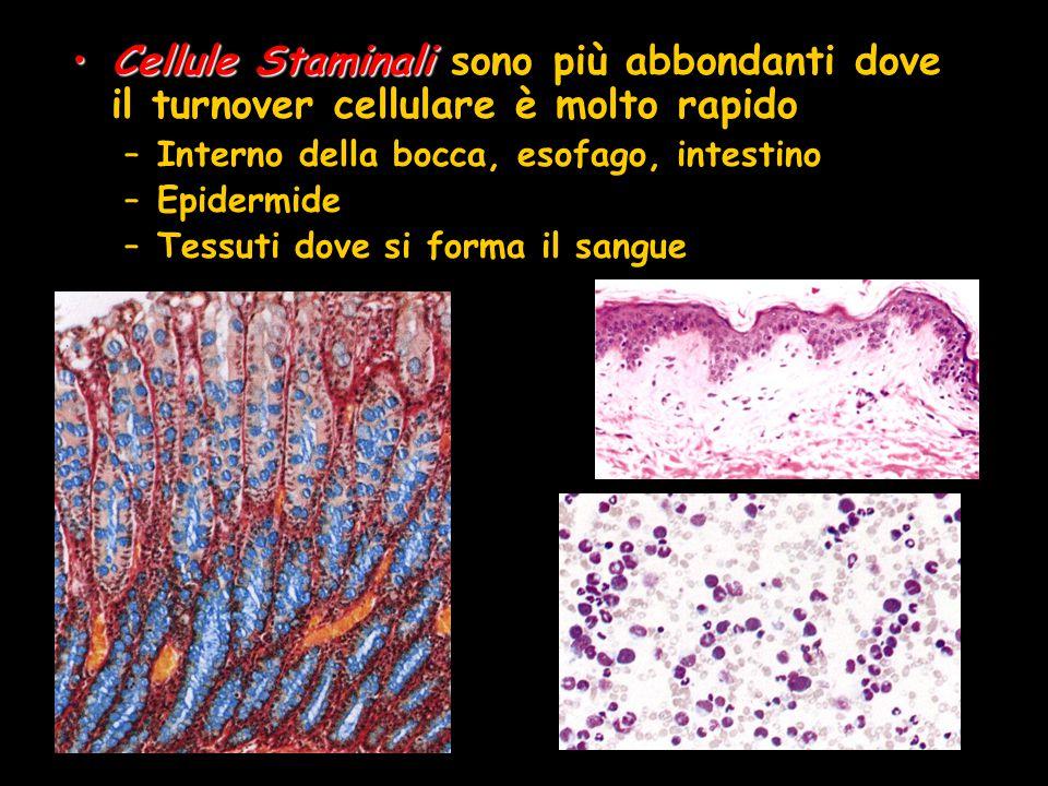 Cellule StaminaliCellule Staminali sono più abbondanti dove il turnover cellulare è molto rapido –Interno della bocca, esofago, intestino –Epidermide