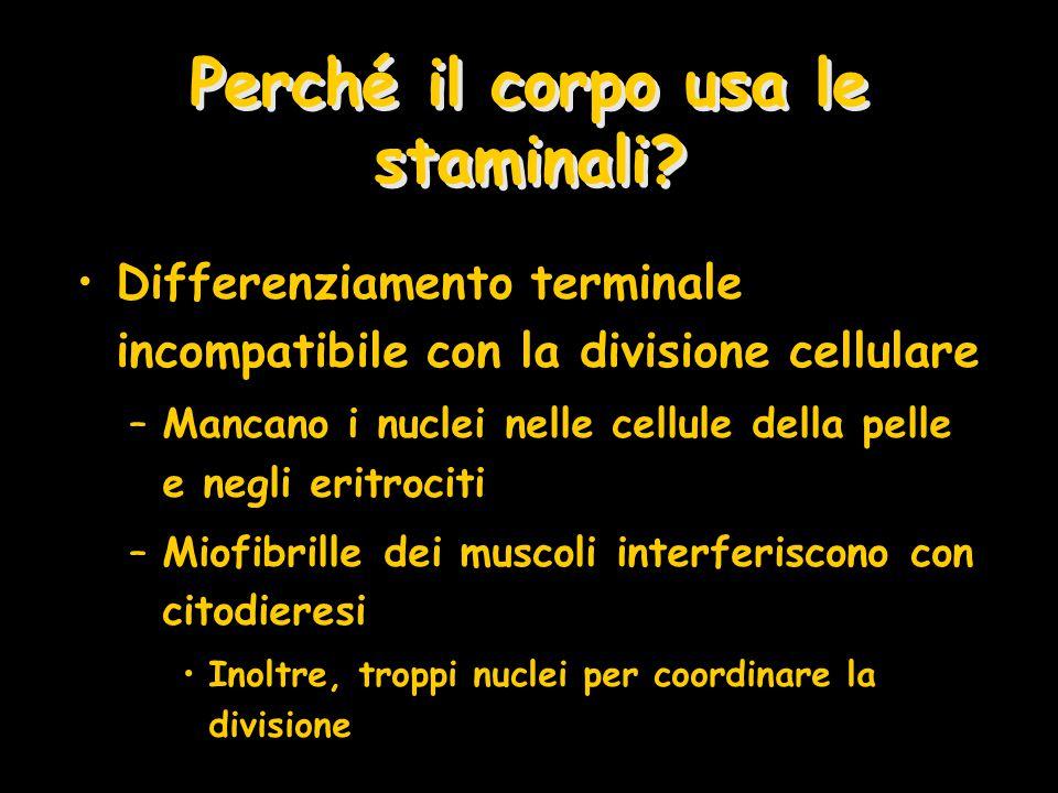 Perché il corpo usa le staminali? Differenziamento terminale incompatibile con la divisione cellulare –Mancano i nuclei nelle cellule della pelle e ne