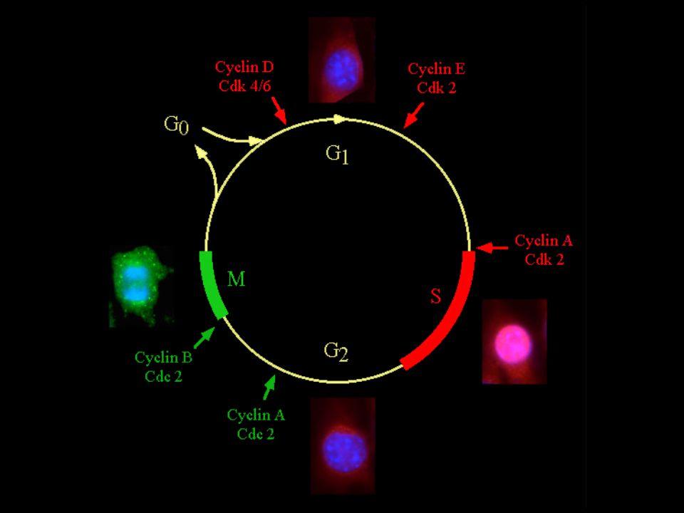 Fase M MitosiM = Mitosi Processo continuo che porta alla formazione di 2 cellule figlie da una cellula madre Mantenuto lo stesso contenuto di DNAMantenuto lo stesso contenuto di DNA Figure MitoticheFigure Mitotiche possono essere d'aiuto per il riconoscimento istologico –Figure mitotiche anormali possono essere indice di patologia
