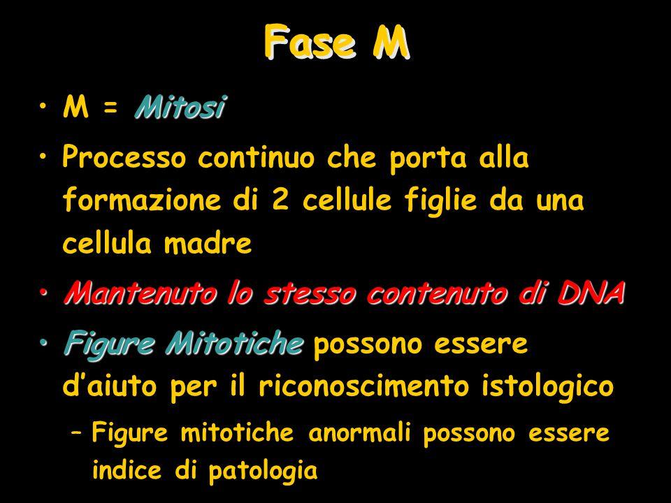 Fase M MitosiM = Mitosi Processo continuo che porta alla formazione di 2 cellule figlie da una cellula madre Mantenuto lo stesso contenuto di DNAMante