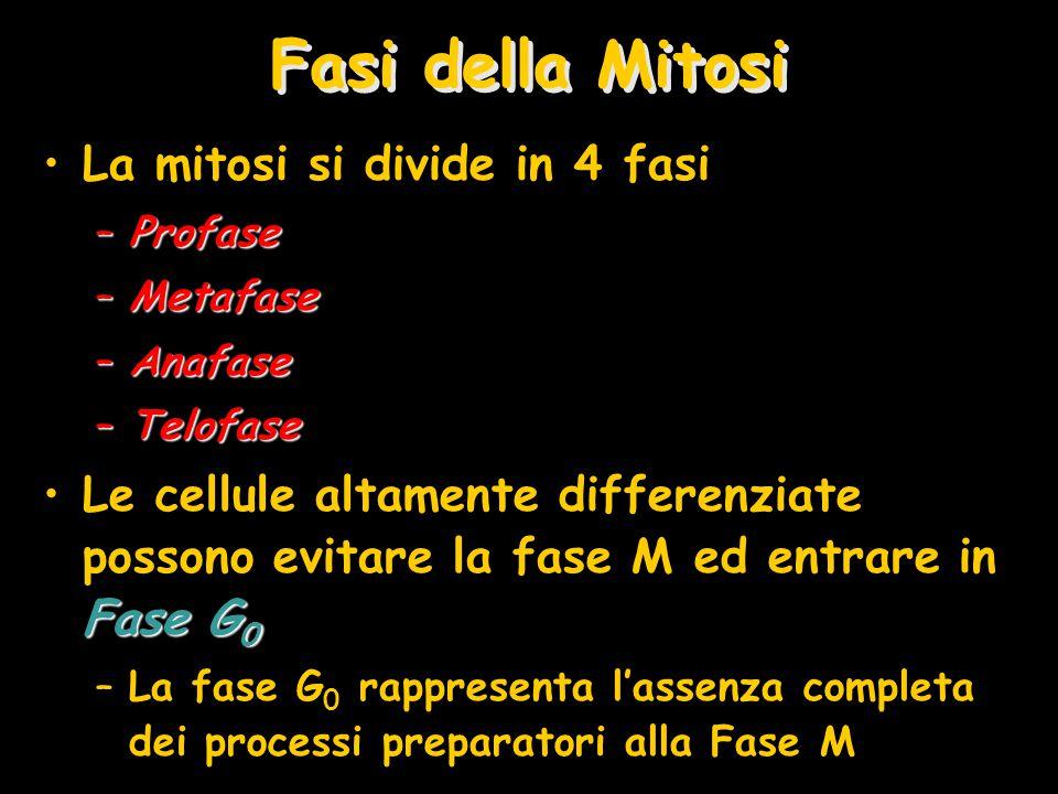 Fasi della Mitosi La mitosi si divide in 4 fasi –Profase –Metafase –Anafase –Telofase Fase G 0Le cellule altamente differenziate possono evitare la fa