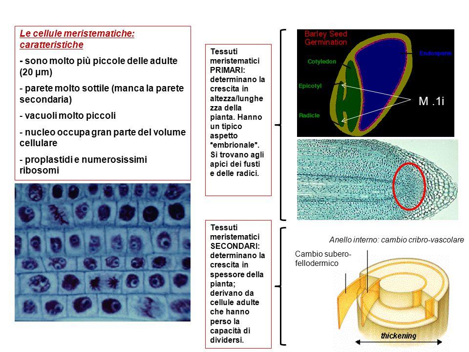 Le cellule meristematiche: caratteristiche - sono molto più piccole delle adulte (20 μm) - parete molto sottile (manca la parete secondaria) - vacuoli molto piccoli - nucleo occupa gran parte del volume cellulare - proplastidi e numerosissimi ribosomi Tessuti meristematici SECONDARI: determinano la crescita in spessore della pianta; derivano da cellule adulte che hanno perso la capacità di dividersi.