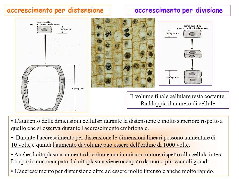 L ' aumento delle dimensioni cellulari durante la distensione è molto superiore rispetto a quello che si osserva durante l ' accrescimento embrionale.