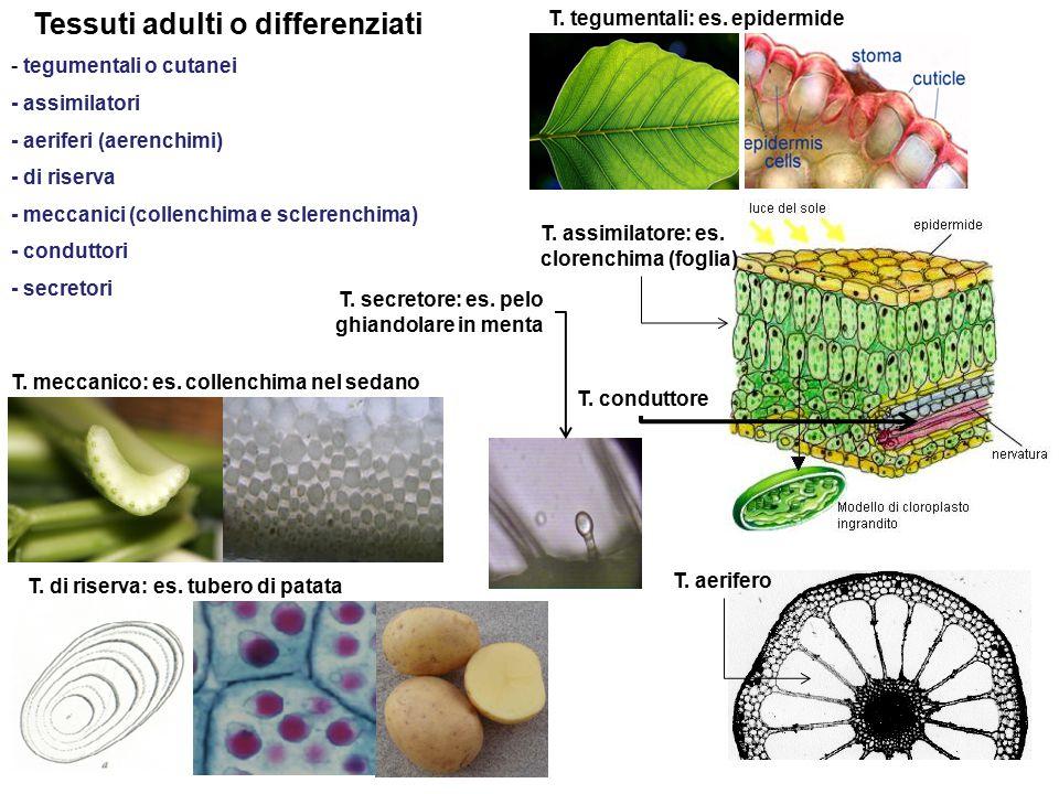 Tessuti adulti o differenziati - tegumentali o cutanei - assimilatori - aeriferi (aerenchimi) - di riserva - meccanici (collenchima e sclerenchima) - conduttori - secretori T.