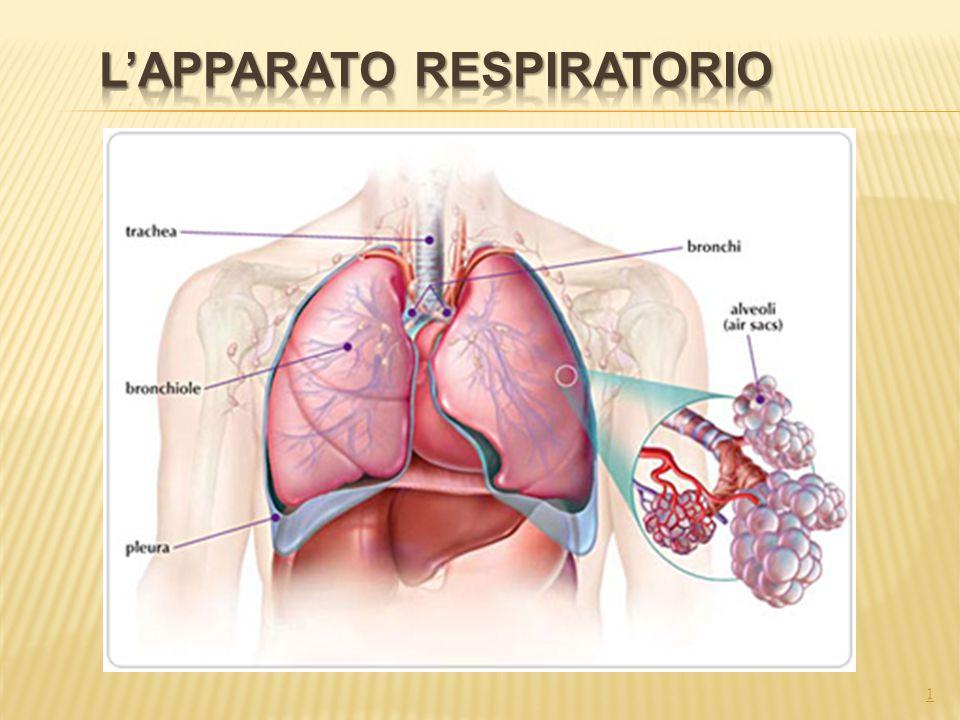 2 L'apparato respiratorio ha il compito di portare l'aria a contatto del sangue.