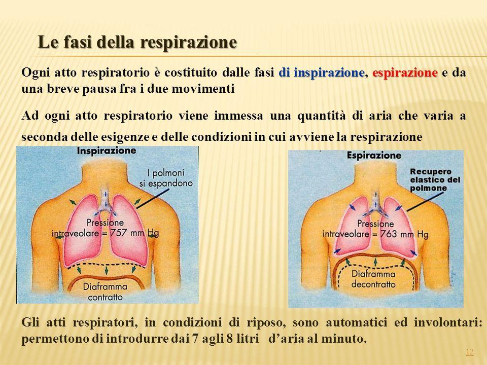 12 Le fasi della respirazione Gli atti respiratori, in condizioni di riposo, sono automatici ed involontari: permettono di introdurre dai 7 agli 8 lit